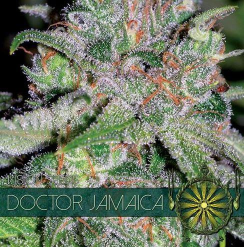 Doctor Jamaica von Vision Seeds
