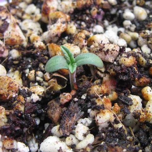 gesunder-Cannabis-seedling