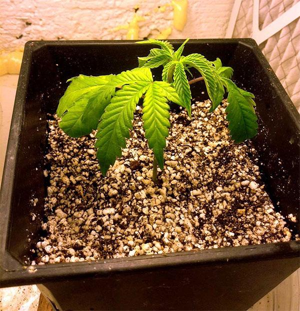 überwässerung Cannabis