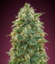 Amnesia von Advanced Seeds