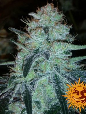 Chronic Thunder von Barneys Farm