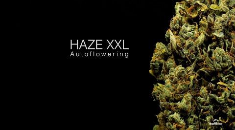 Haze-XXL Auto Dinafem