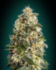 Heavy Bud von Advanced Seeds