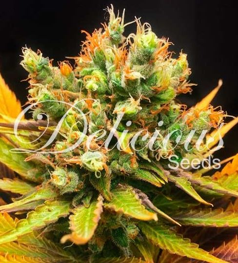 Honeybells von Delicious Seeds