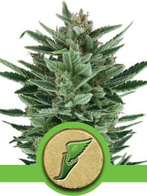Quick One von Royal Queen Seeds