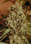 Somango Widow von Advanced Seeds