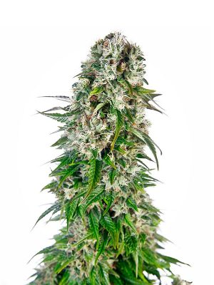 Big-bud-auto White Label
