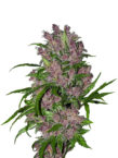 Purple-Bud-Auto