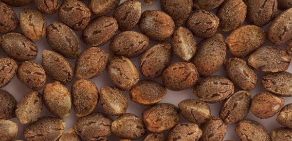 feminisierte Cannabis-Samen kaufen
