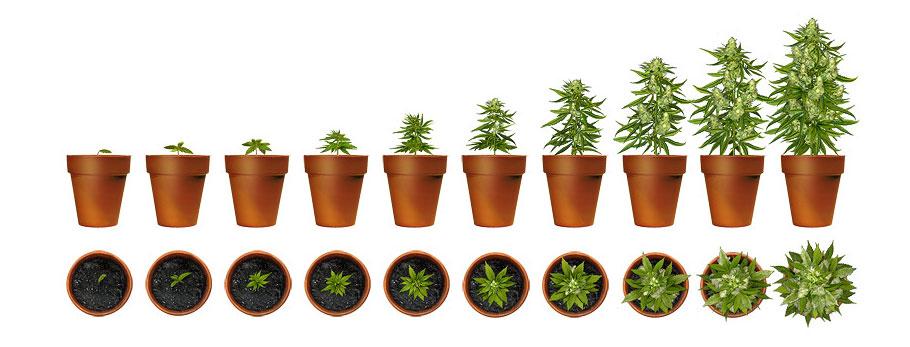 Grow-Phasen-Cannabis