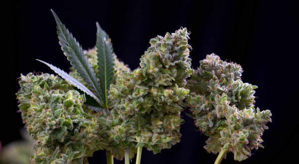 Indoor-anbau-Cannabis