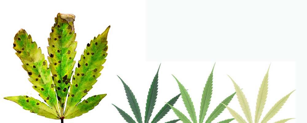 Mangelerscheinung-bei-Cannabis