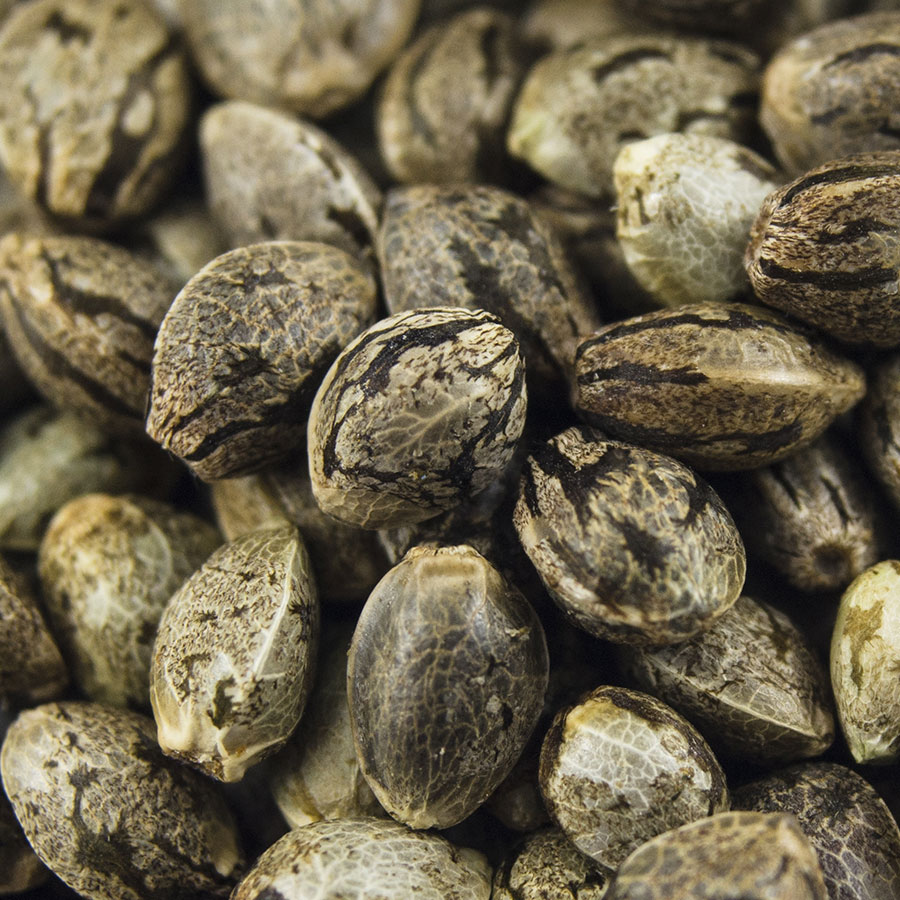Seedshop-1000Seeds-Cannabis-Samen