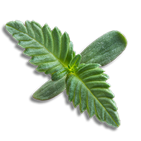 Growshop Cannabis Anbau
