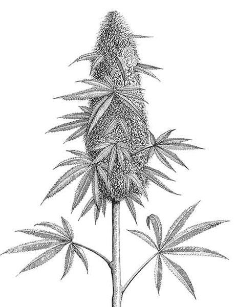 kochen-mit-Cannabis-Weedkoch