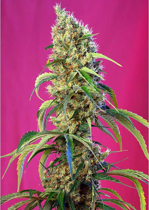 Black Jach CBD Sweet Seeds