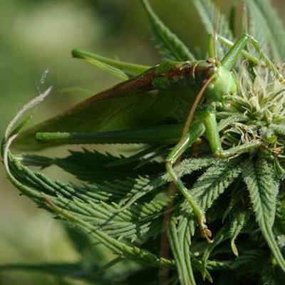 Cannabis-Heuschrecken