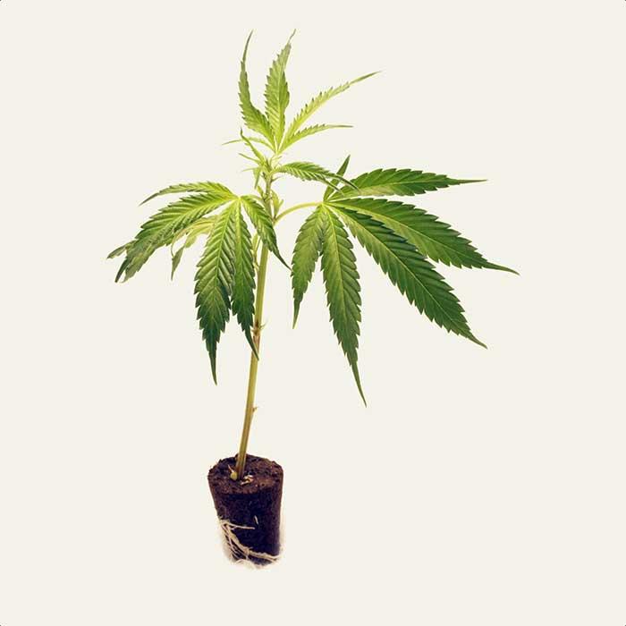 Cannabis-Klone