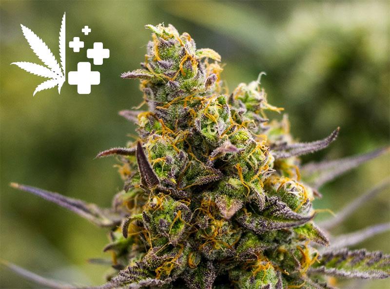 Cannabis-medizinisch-wissen
