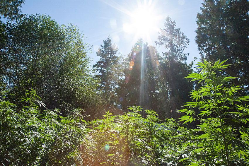 Cannabis-outdoor-Kalender
