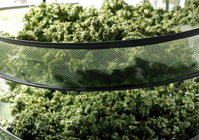 Cannabis-trocknen-outdoor