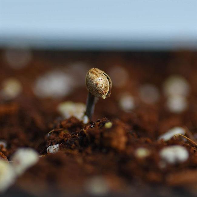 Cannabispflanzen-vorziehen