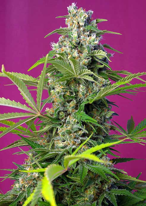 Gorilla-Girl Sweet Seeds
