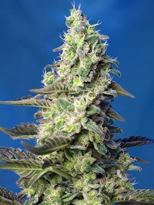 Green Poison XL Auto (Sweet Seeds), automatic Samen