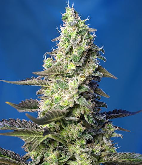 Green Poison XL Auto (Sweet Seeds), automatic Samen