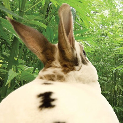 Hasen-Cannabis