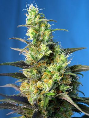 Ice Cool CBD (Sweet Seeds) - feminisierte Samen