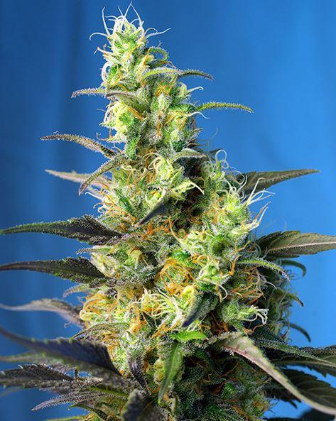 Ice Cool CBD (Sweet Seeds) - feminisierte Samen