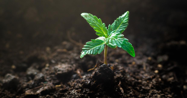 Keimung-bei-Cannabis