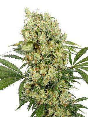 Medikit (Buddha Seeds), feminisiert - CBD Strain