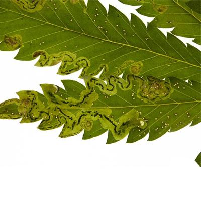 Minierfliege-Cannabisanbau