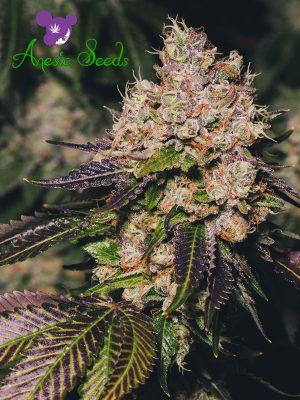 Super Glue von Anesia Seeds, neuer, feminisierter Cannabisstrain 2018, viel THC