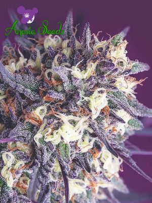 Super-Glue-Anesia-Seeds