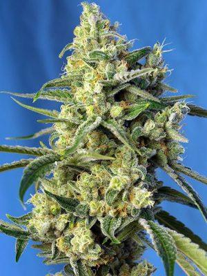 Sweet Amnesia Haze (Sweet Seeds), feminisiert