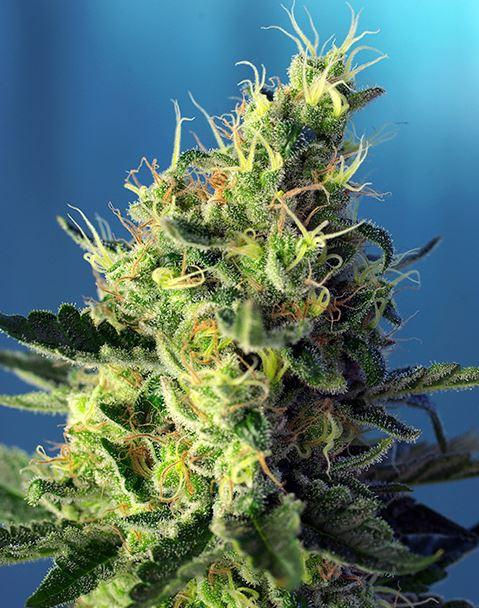 Sweet Pure CBD (Sweet Seeds) - feminisierte Samen