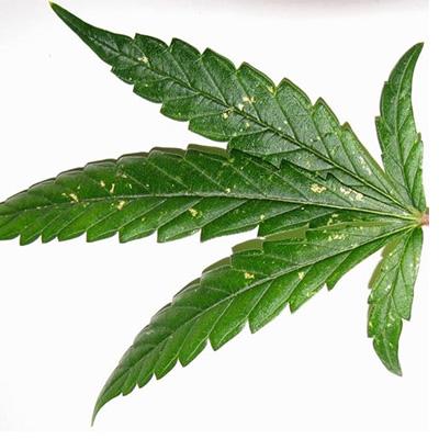 Thripse-Cannabisanbau