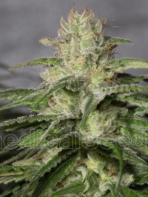 OG Kush CBD von medical Seeds