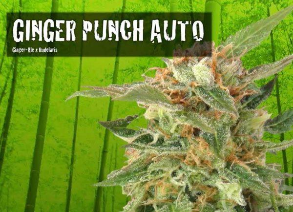 Ginger-Punch-Kannabia