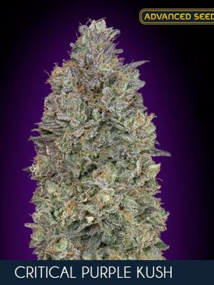 Critical Purple Kush von Advanced