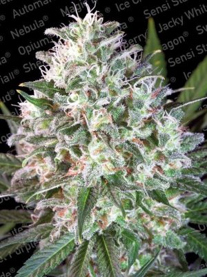 Space Cookies von Paradise Seeds