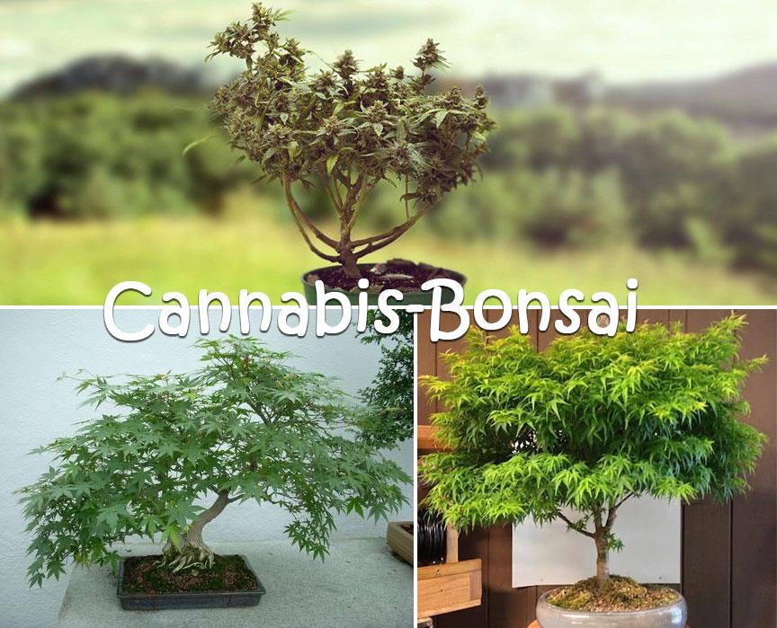 Cannabis-Bonsai-1