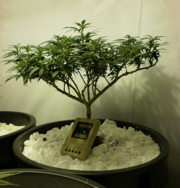 Cannabis-Bonsai-selber-machen