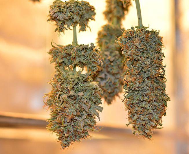 Cannabis-richtig-trocknen