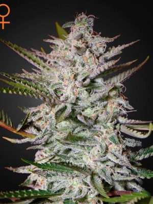 Holy Punch von Green House Seeds