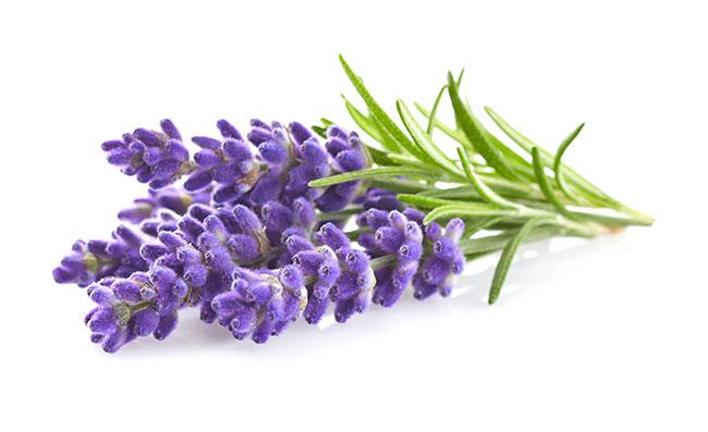 Lavendel-und-Cannabis