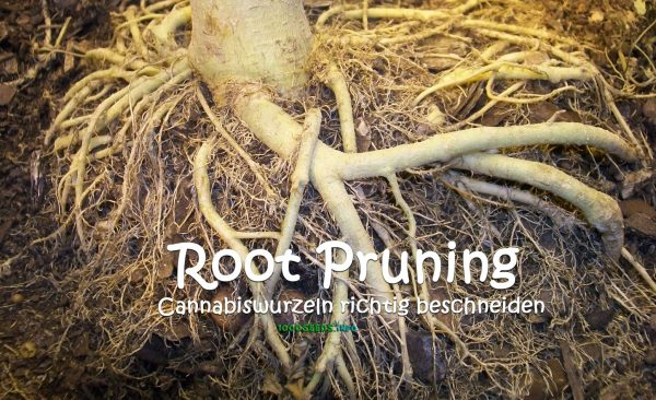 Root-Pruning-Cannabiswurzeon